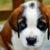 cimurro cane